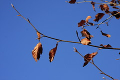 Autmunal Leaves (46/52) (Stu.G) Tags: project52 project 52 project522018 522018 17nov18 17thnovember2018 17th november 2018 november2018 17thnovember 171118 17112018 canoneos40d canon eos 40d canonefs1785mmf456isusm efs 1785mm f456 is usm england uk unitedkingdom united kingdom britain greatbritain d europe eosdeurope autmunalleaves autmunal leaves beech tree beechtree beechleaves leaf deurope outdoor plant foliage
