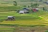 _J5K2593.0918.Lìm Mông.Cao Phạ,Mù Cang Chải.Yên Bái (hoanglongphoto) Tags: asia asian vietnam landscape scenery vietnamlandscape vietnamscenery vietnamscene terraces terracedfields harvest seasonharvest house homes hdr canon canoneos1dsmarkiii canonef100400mmf4556lisusm tâybắc yênbái mùcangchải caophạ lìmmông thunglũnglìmmông ruộngbậcthang lúachín mùagặt ruộngbậcthangmùcangchải mùcangchảimùagặt mùcangchảimùalúachín nhữngngôinhà ngôinhà village bảnlàng sườnnúi flanksmountain hanks