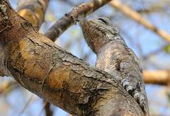Mãe-da-Lua Gigante / Great Potoo (anacm.silva) Tags: mãedaluagigante greatpotoo potoo ave bird wild wildlife nature natureza naturaleza birds aves pantanal brasil brazil nyctibiusgrandis