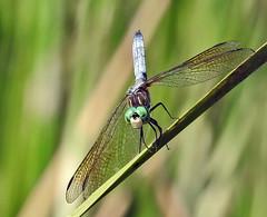 Dragonfly - Libellule (P9_DSCN9086-1PE-20180810) (Michel Sansfacon) Tags: dragonfly libellule nikoncoolpixp900 parcnationaldesîlesdeboucherville parcsquébec faune