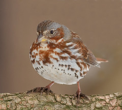 Fox Sparrow (tresed47) Tags: 2018 201811nov 20181125homebirds birds canon7d chestercounty content fall folder foxsparrow home november pennsylvania peterscamera petersphotos places season sparrow takenby us