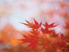 Color of autumn (Kito K (fxkito2)) Tags: japan tokyo red macro omd bokeh nature closeup lumix fineart olympus color dof