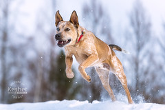 Picture of the Day (Keshet Kennels & Rescue) Tags: adoption dog ottawa ontario canada keshet large breed dogs animal animals pet pets field nature photography winter snow jump leap play australian cattle heterochromia iridium iris blue brown eyes colour eye different speed fast run
