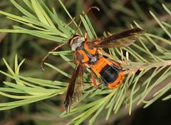 Amazing mimicry (Jenny Thynne) Tags: wasp insect ballandean granitebelt queensland australia waspmimic coleoptera cerambycidae hesthesis