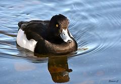 Mr Tufty (Eleanor (No multiple invites please)) Tags: duck tuftedduck maletuftedduck water thelongwater kensingtongardens london nikond7200 november2018 coth5