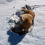 Snow belly dog thumbnail