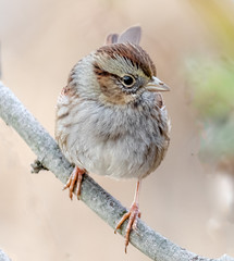 Thanks for Sitting Still (tresed47) Tags: 2018 201812dec 20181204bombayhookbirds birds bombayhook canon7dmkii content delaware folder peterscamera petersphotos places season sparrow swampsparrow takenby us winter