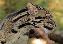 clouded leopard Ouwehands 094A0554 (j.a.kok) Tags: luipaard leopard nevelpanter neofelisnebulosa cloudedleopard panther animal azie asia mammal zoogdier dier predator cat kat ouwehands