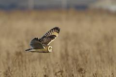 K32P2298a  Short-eared Owl, Burwell Fen, December 2018 (bobchappell55) Tags: burwellfen cambridgeshire nationaltrust wild bird wildlife nature