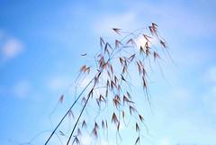 Summer grasses (Maureen Pierre) Tags: summer grass sky seeds plant light