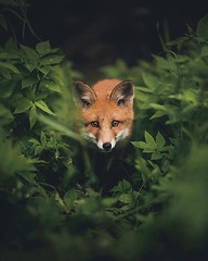 @everythingfox September 15 2018 at 04:11PM (hellfireassault) Tags: foxes everythingfox september 15 2018 0411pm fantasticfoxes november 14 0448am