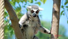 Thinking...deeply... (LizasGarden) Tags: lizasgshots pairidaiza lemurs thinking pairidaizalemurs belgium