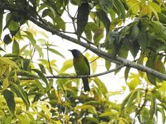 Blue-masekd Leafbird (benyeuda) Tags: sumatra bird birdwatching birding tapanroad bukittapan kerinciseblat rainforest chloropsisvenusta leafbird endemic prettybird green birdcolorful birdnice birdbirdbirdingbird watching