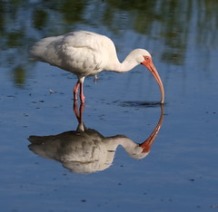 Early Morning Ibis (Darts5) Tags: reflections reflection ibis ibises wadingbird wadingbirds wading animal nature 7d2 7dmarkll 7dmarkii 7d2canon ef100400mmlll closeup canon7d2 canon7dmarkll canon7dmarkii canon canonef100400mmlii whitebird whiteibis
