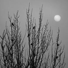 sole pallido (sharkoman) Tags: sole sun nebbia fog rami branches alberi trees bn biancoenero blackandwhite monocromo