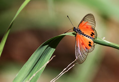 Acraea Butterfly - Male (Wild Chroma) Tags: butterfly acraea insects madagascar berenty nymphalidae acraeadammii dammii male acraeadamii damii