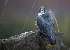 Peregrine Falcon (cliveyjones) Tags: peregrinefalcon peregrine tercel tiercel falcon