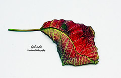 IMG_4244 Agony (Cyberlens 40D) Tags: nature botany leafs leave stilllife abstract studio red seasons aged cycles life death green veins platinumheartaward