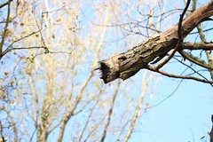 Rotten branch (Baz2016) Tags: stuck above dead balance dangeroushangingbranches