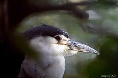 Héron bihoreau (Passion Animaux & Photos) Tags: heron bihoreau blackcrowned nightheron parc animalier saintecroix