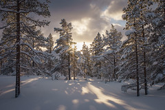 Winter wonderland (Helena Normark) Tags: snow snowytrees winterwonderland winter beautifullight crosscountryskiing sunstar ski skitur vinter snø langåskjølen nordmarka klæbu sørtrøndelag trøndelag norway norge sonyalpha7ii a7ii 35mm lensbaby burnside35 lensbabyburnside35 lensbabylove seeinanewway