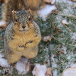 171/365/3823 (November 29, 2018) - Fox Squirrels in Ann Arbor on an Autumn day at the University of Michigan - November 29th, 2018 thumbnail