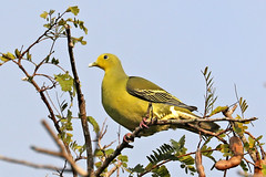 Sri Lanka Green Pigeon ♀ Treron pompadora (Roger Wasley) Tags: sri lanka green pigeon female treron pompadora sigiriya wild bird endemic asia ceylon coth coth5 specanimal