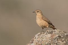Minero Cordillerano (ik_kil) Tags: minerocordillerano rufousbandedminer geosittarufipennis farellones regiónmetropolitana avesdechile birds chile
