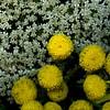 59322.23 Daucus carota, Tanacetum vulgare (horticultural art) Tags: horticulturalart daucuscarota daucus queenanneslace tanacetumvulgare tanacetum tansy flowers closeup