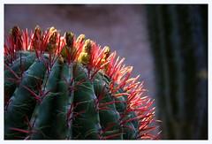 ATTENTION AUX DOIGTS....MAJORELLE (Marie-Laure Larère) Tags: cactus majorelle coussindebellemère