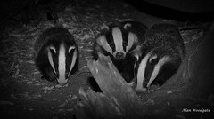 Badgers (Meles meles) - Buckinghamshire (Alan Woodgate) Tags: cubs badgers wild bw family young nature night uk wildlife meles trio summer