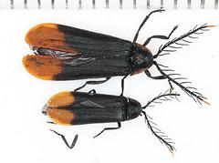2018-9-4campFLY_7232c (mcclarinj) Tags: psilocladus lampyridae cosanga napo ecuador jimmcclarin