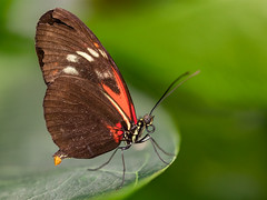 Weathered Postman (Tyson Poeckh) Tags: postman butterfly green insect leaf garden wings macro canon