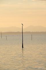 今日の場所 (atacamaki) Tags: xt2 50140 xf f28 rlmoiswr fujifilm jpeg撮って出し atacamaki japan ibaraki kasumigaura 霞ヶ浦 bird sunset lake shadow nature beautiful かすみがうら