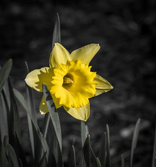 Daffy is back. (Omygodtom) Tags: daffodil flora usgs flower yellow sunlight season texture tamron bright nature natural swiss bokeh macro