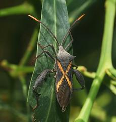 Crusader Bug top. (ron_n_beths pics) Tags: westernaustralia perthbushlands hemiptera truebugs