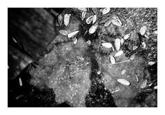 Ne rien faire avec pas grand chose (madras91) Tags: nb noiretblanc blackandwhite bw monochrome film ilford hp5 summitar 50mm summitar5cmf2 iiif leicaiiif graphic graphism reflection