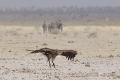 20181009_1701_Etosha_Vautour africain (fstoger) Tags: namibie namibia wildlife safari afrique africa etosha nature viesauvage vautourafricain whitebackedvulture gypsafricanus