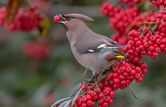 Waxwing... (Jeff Lack Wildlife&Nature) Tags: waxwing waxwings bohemianwaxwing wintermigrant winter wildlife wildbirds woodlands wildlifephotography jefflackphotography birds avian animal animals trees berries countryside nature rowan hawthorn