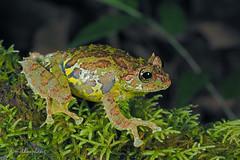 Philautus macroscelis (methosphang) Tags: mossybushfrog philautusmacroscelis philautus macroscelis bushfrog frog mossy anura rhacophorids rhacophoridae