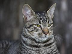 """""""El Flaco"""" (Marina-Inamar) Tags: gato felino animal domestico tigre bigotes argentina buenosaires museopueyrredón"""
