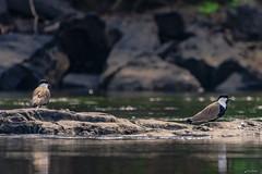 BIRDS (Ezio Donati is ) Tags: uccelli birds animali animals natura nature acqua water fiume river westafricacostadavorio bandamariver tiassale