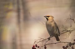 Waxwing (Benjamin Joseph Andrew) Tags: bird passerine songbird winter migrant migratory visitor autumnmigrant perching hungry food fruit berry