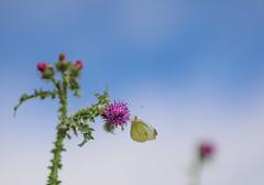 High in the sky (chtimageur) Tags: papillon butterfly vlinder insecte blue sky landscape landschap natuur nature summer zomer été