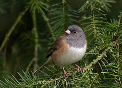 Dark-eyed Junco III (dennis_plank_nature_photography) Tags: avianphotography thurstoncouny birdphotography naturephotography wa avian birds blind copspse home littlerock nature