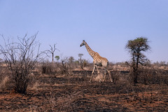 Time to Move On (thisbrokenwheel) Tags: africa lowersabie sanparks safari nature nationalpark sabieriver knp wildlifephotography wildlife burn travel mammal fire landscape drought giraffe southafrica conservation naturereserve krugernationalpark