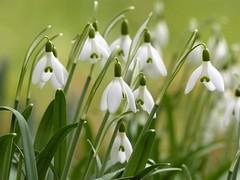 Schneeglöckchen... (Christa_P) Tags: nature flora flowers blumen blüte blossom snowdrop schneeglöckchen galanthus garden winter
