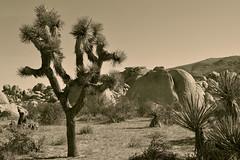 20190317_136824 copie (C&C52) Tags: paysage landscape nature désert plantes rochers sépia monochrome