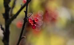 Quand les groseilles seront mûres…. (Callie-02) Tags: fruité poétique douceur été jardin extérieur proximité couleurs profondeurdechamp bokeh canon groseille acidulé baie grain nature branche transparence lumière rouge fruits