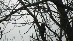 Female Pileated Woodpecker_3834.mp4 (Henryr10) Tags: ottoarmlederpark hamiltoncountyparkdistrict cincinnati ottoarmledermemorialpark armlederpark littlemiamiriver greatparksofhamiltoncounty usa pileatedwoodpecker dryocopuspileatus dryocopus pileatus bird woodpecker avian vogel ibon oiseau pasare fågel uccello tékklistar piwo